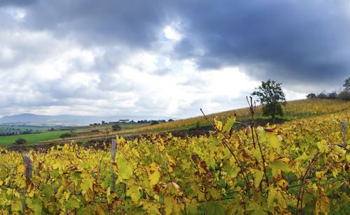 4 - Vineyard